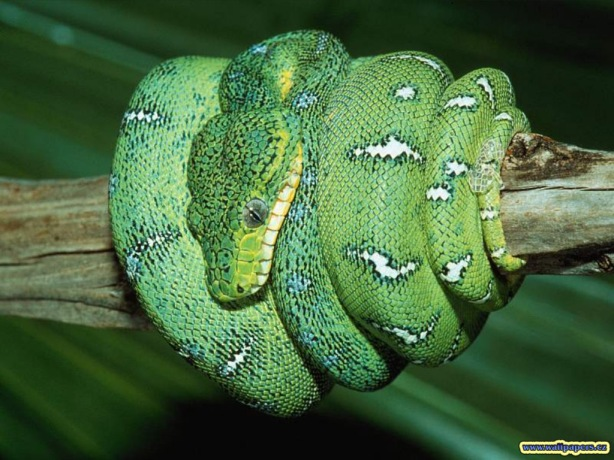 041-green-snake-wallpaper-animal