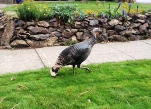 lone turkey