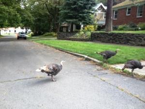 turkey crossing road